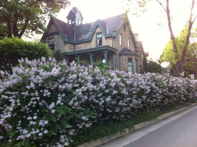 May also graced us with the fragrance and beauty of the lilacs on Livingston Street. This photo was taken by Jacqui Harman, daughter of the Harman family who resided in our house for the latter half of the 20th century.